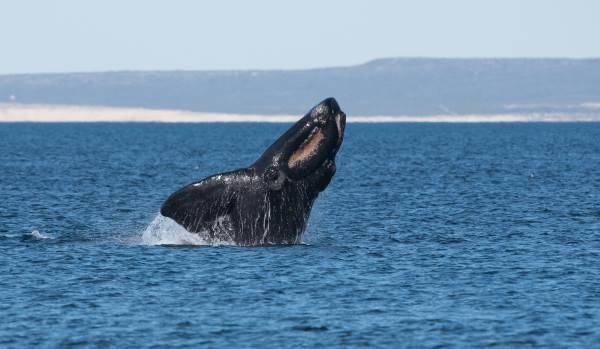 balena franca1