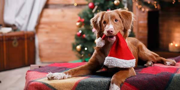 Immagini Cani Natale.Cani Attenzione Al Rischio Di Avvelenamento Da Cioccolato