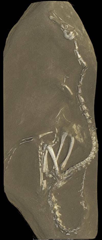halszkaraptor fossile