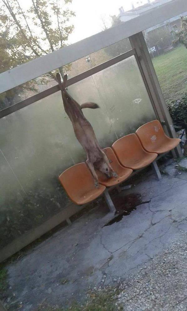 lupo appeso coriano