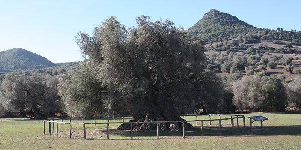 Olivo Sardegna