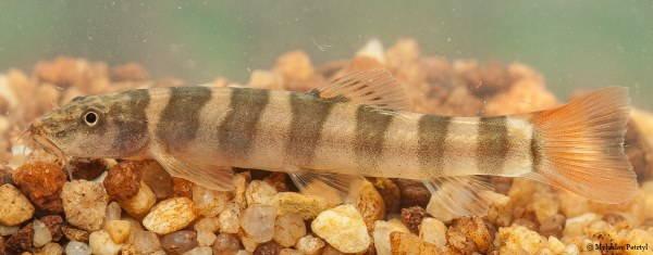 pesce schistura kampucheensis