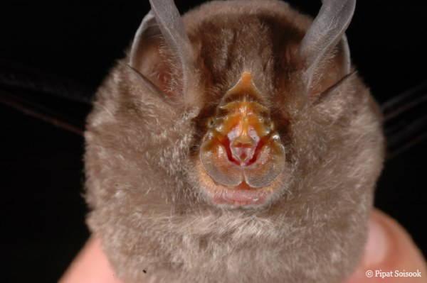 pipistrello di montagna