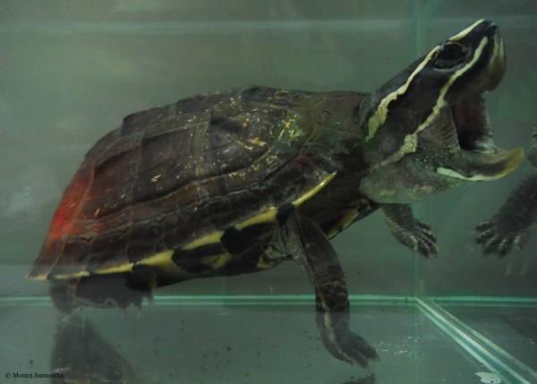tartaruga mangia serpenti2