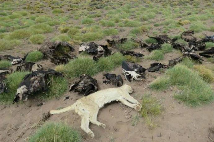 condor uccisi