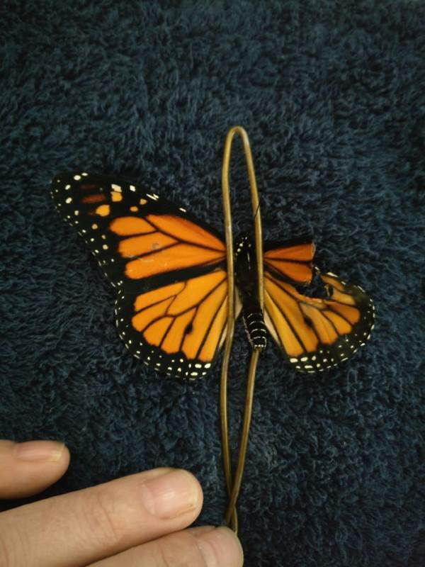 farfalla monarca intervento2