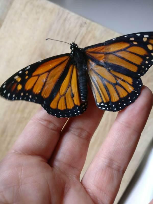 farfalla monarca intervento3