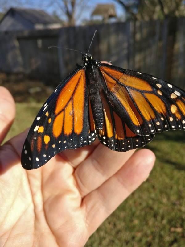 farfalla monarca intervento4