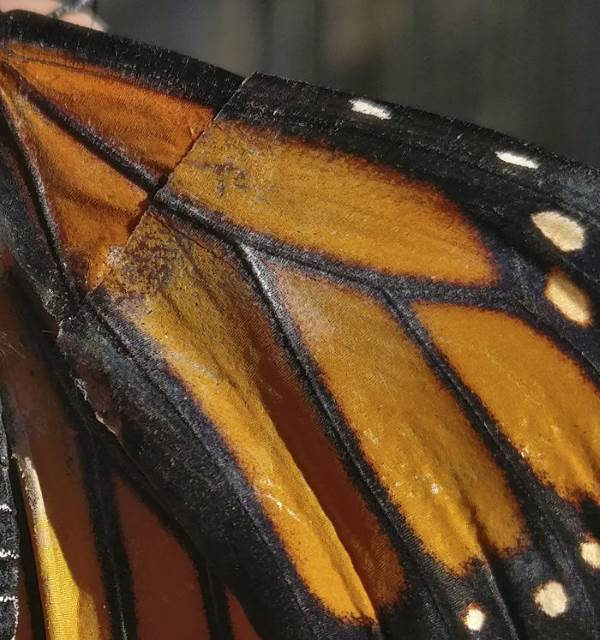 farfalla monarca intervento5