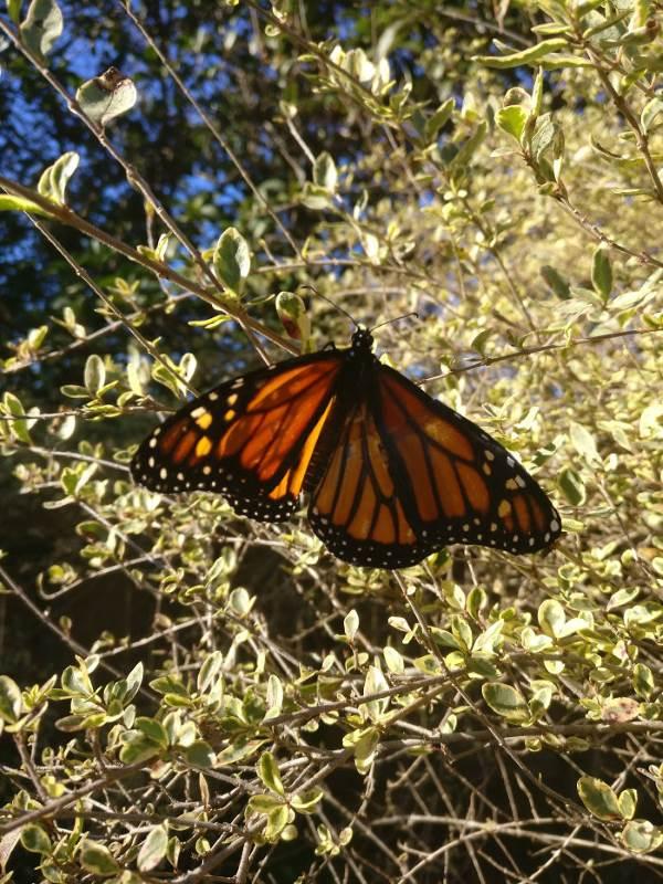 farfalla monarca intervento6