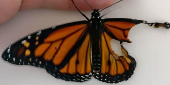 farfalla monarca intervento copia