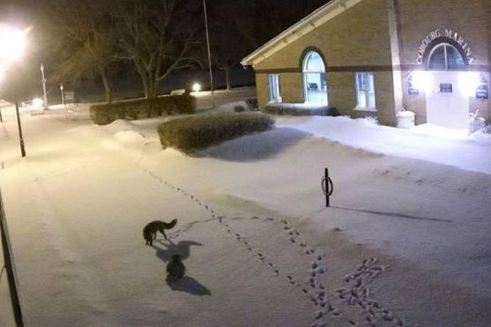 gufo delle nevi e volpe