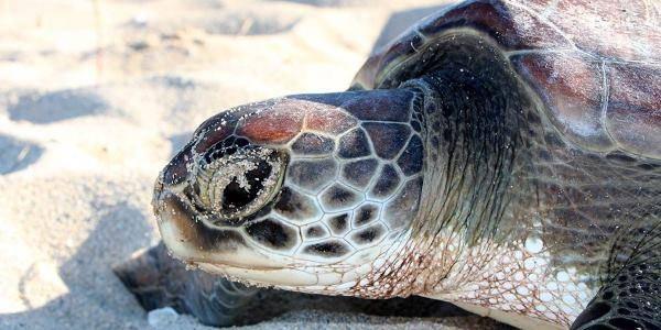 tartarughe grande barriera corallina