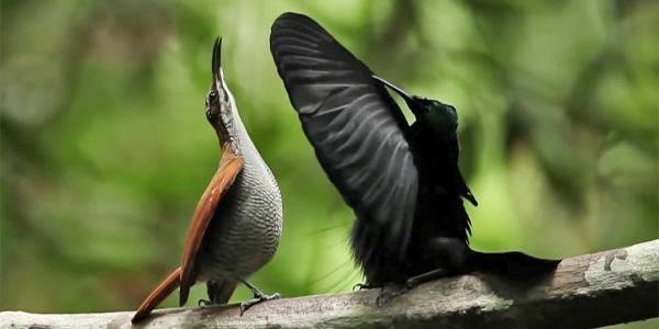 uccelli neri