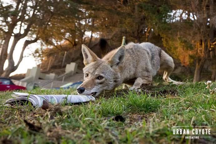coyote-urbano