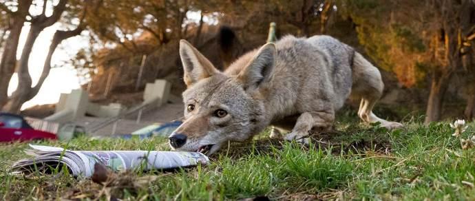 coyote urbano1