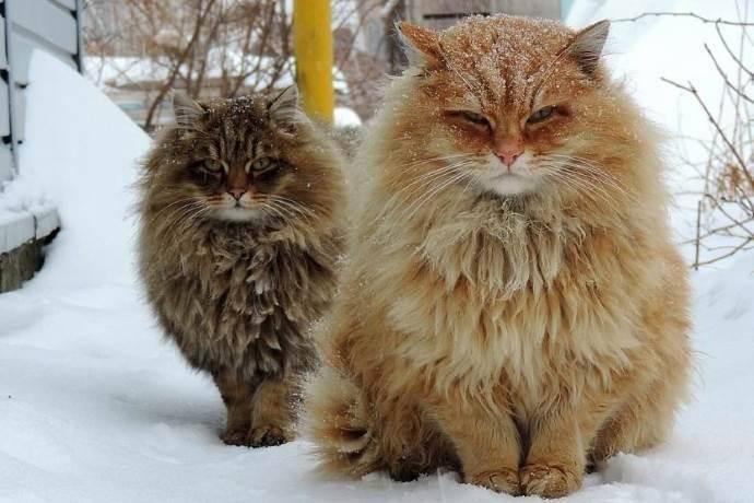 gatti-siberia