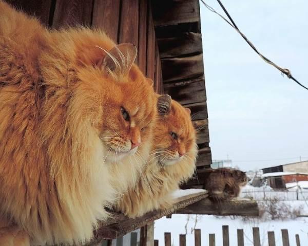 gatti siberia1