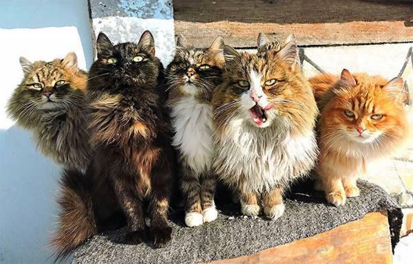 gatti siberia2