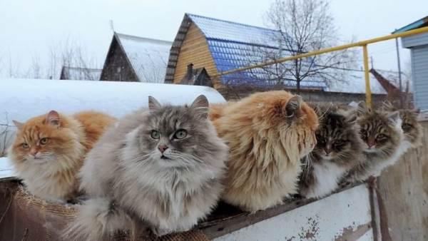 gatti siberia3