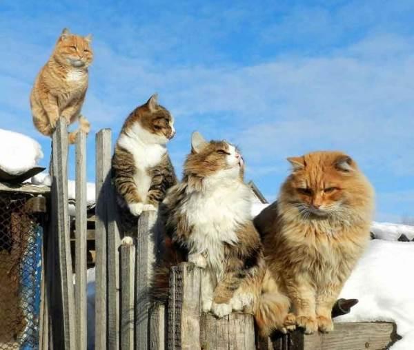 gatti siberia4