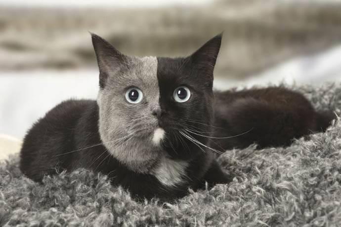gatto-due-facce