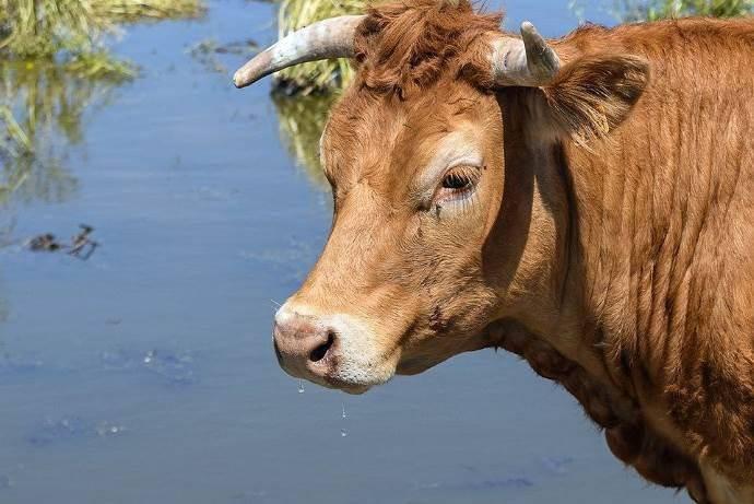 mucca-che-scappa