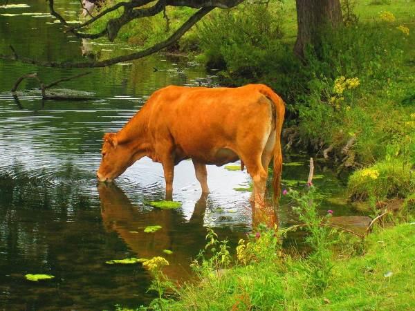 mucca che scappa1