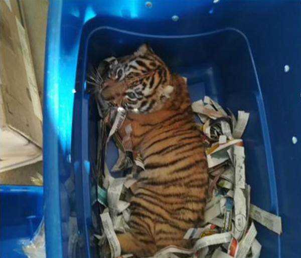 tigre pacco postale