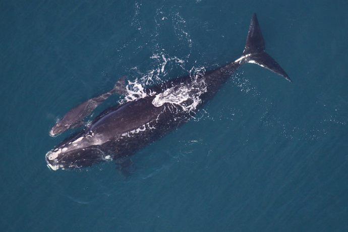 balene franche