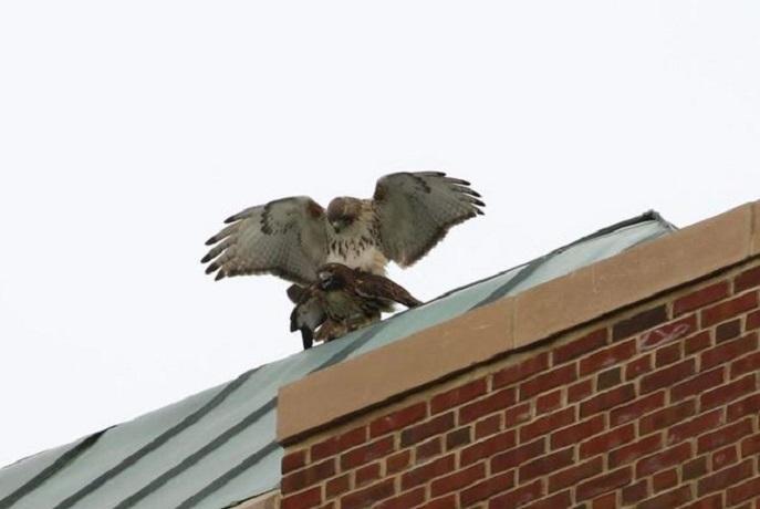 falco-tradimento