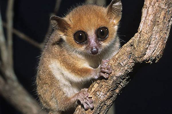 lemure topo