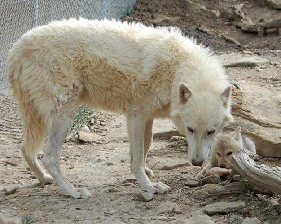 papà lupo