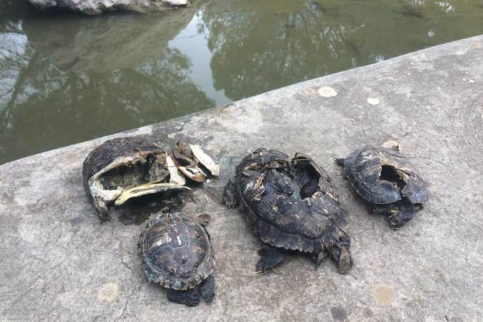 tartarughe-vandali