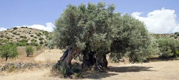 alberi monumentali sardegna