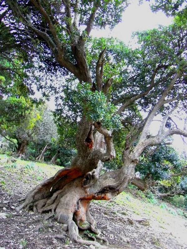alberi monumentali sardegna1