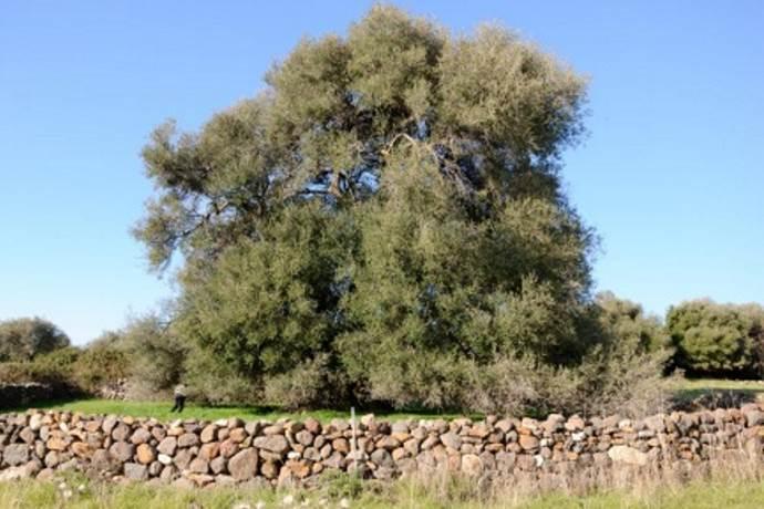 alberi-monumentali-sardegna