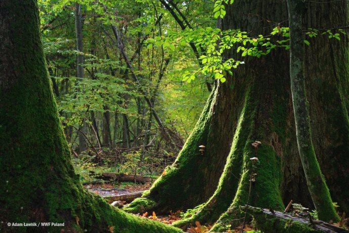 foresta di Białowieża