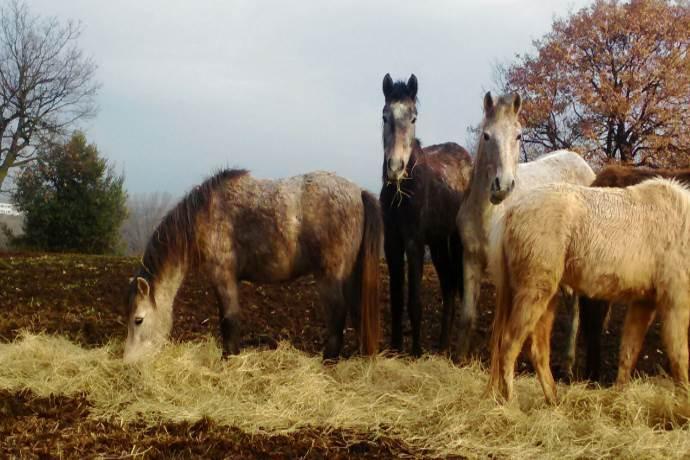 cavalli-lunghezza