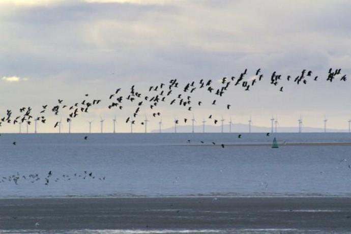 eolico offshore uccelli marini