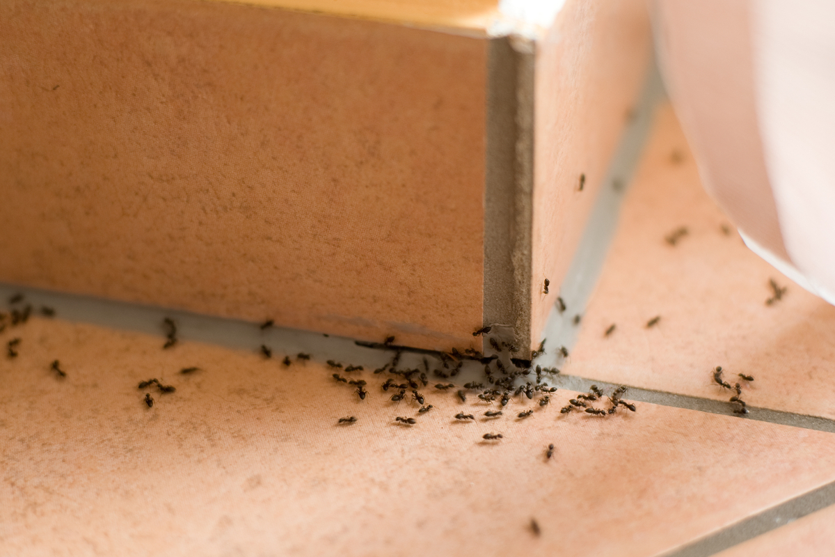 Prodotti Efficaci Contro Le Formiche 10 rimedi naturali contro le formiche - greenme.it