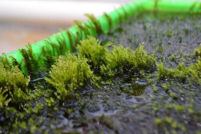 muschio svedese elimina arsenico da acqua