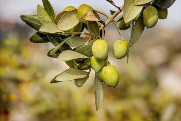 noccioli olive