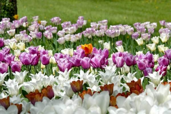 tulipani castello pralormo