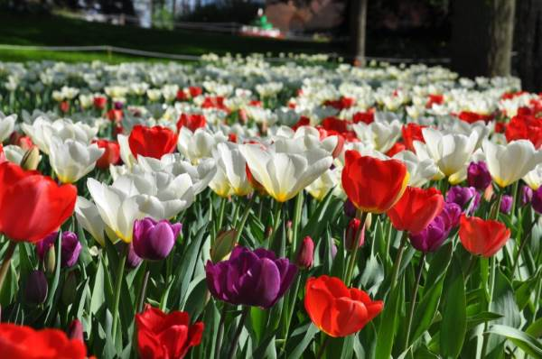 tulipani castello pralormo1