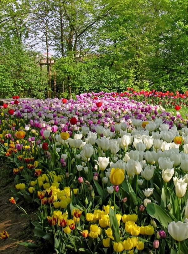 tulipani castello pralormo4