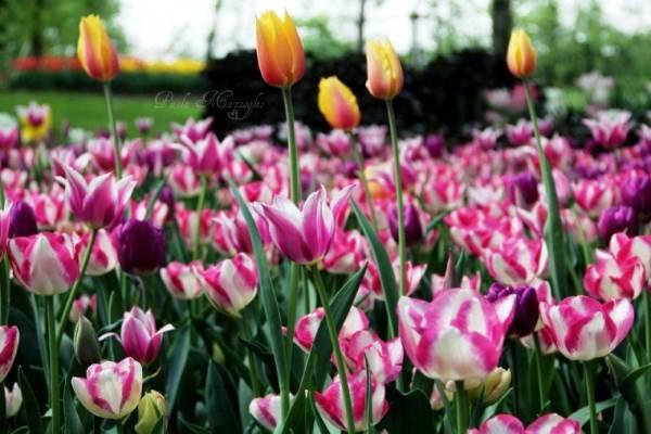 tulipani castello pralormo7