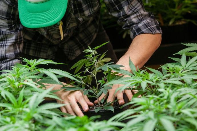 Cannabis produzione