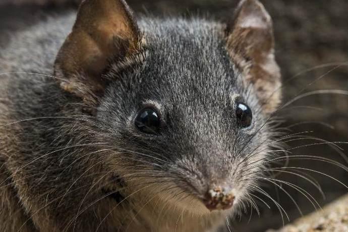 marsupiali estinzione