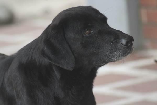negro cane foglie